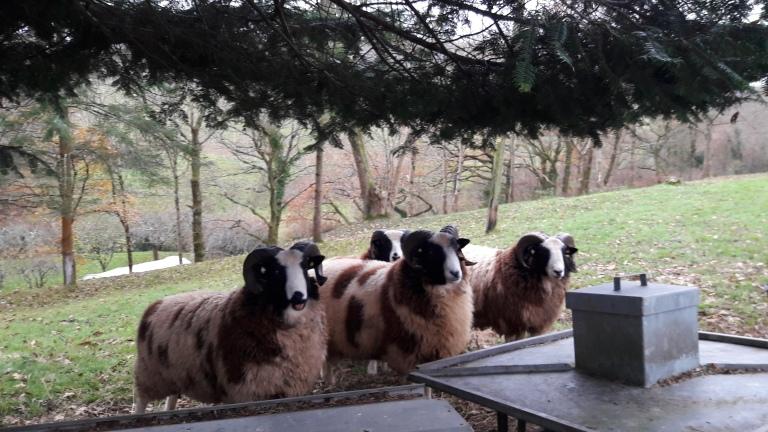 jacob-sheep-rams