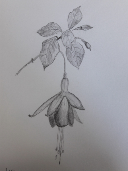 Fuschia Sketch0